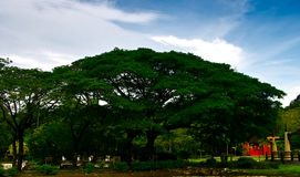 A Big Banyan Tree Royalty Free Stock Image