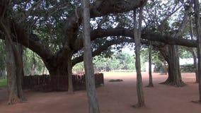 Big Banyan Tree in Auroville green  park, Tamil Nadu, India stock footage