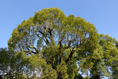 A big banyan tree in Bac Ha, Vietnam Stock Images