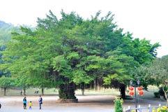 Big Banyan tree Stock Image