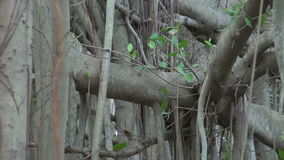 Big banyan tree in Chennai park, Tamil Nadu,India stock video