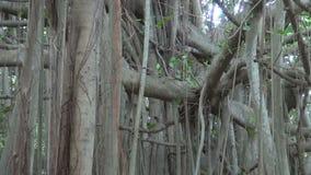 Big banyan tree in Chennai park, Tamil Nadu,India stock video