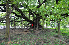 A big banyan tree Stock Photos