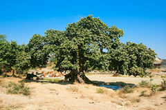 Big banyan tree growing near by brook Stock Images