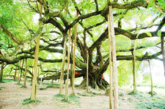 Big banyan tree in guangxi China Royalty Free Stock Photo
