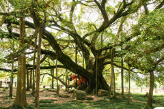 Big banyan tree in guilin, china Stock Images