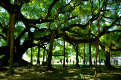 Big banyan tree Royalty Free Stock Photography