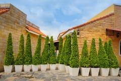 Big banyan tree in pot Stock Image