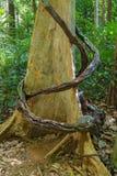 Big banyan tree roots Royalty Free Stock Image