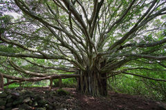 Big Banyan tree in Waimoku falls trail. In Maui island, Hawaii stock photo
