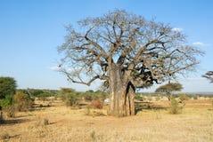 Big baobab, Tarangire National Park, Tanzania. Big  baobab, Tarangire National Park, Tanzania Stock Photos