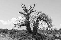 Big baobab tree growing surrounded by African Savannah. Black an Royalty Free Stock Images