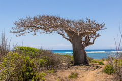 Big baobab tree growing surrounded by bushes and sea in the back Stock Image