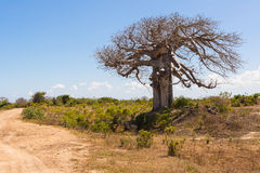 Big baobab tree surrounded by African Savannah with dirt track n Royalty Free Stock Photos