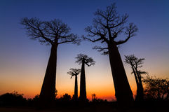 Big Baobabs after sunset Royalty Free Stock Photos