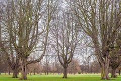 Big Bare Tree at Autumn.  Stock Photo
