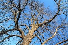 Big bare tree Stock Photography