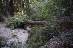 Big Basin Redwoods, California stock image