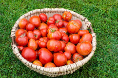 Big basket of fresh organic ripe red tomatoes on the ground. Stock Image