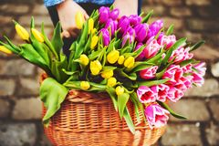 A big basket full of fresh colorful tulips Stock Photos