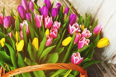 A big basket full of fresh colorful tulips Royalty Free Stock Images