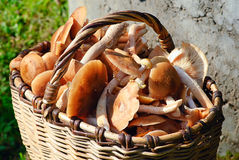 Big basket full of mushrooms Stock Photos
