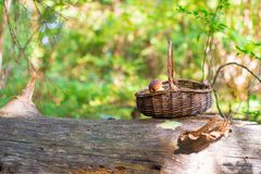 Big basket with mushrooms on old tree in autumn Stock Photos