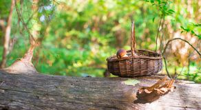Big basket with mushrooms on old tree in autumn Royalty Free Stock Photo