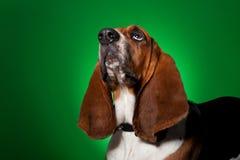 Big basset hound dog looking up Royalty Free Stock Photos