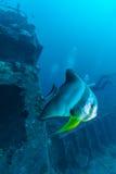 Big Bat Fish and shipwreck stock photos