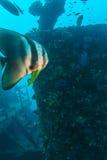 Big Bat Fish and shipwreck stock image