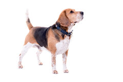 Big beagle isolated Royalty Free Stock Photo