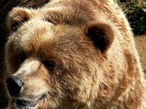 Big Bear Immagine Stock