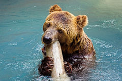 A Big Bear Royalty Free Stock Photography