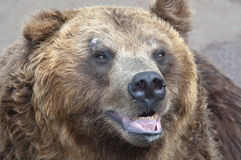 Big bear Royalty Free Stock Photography