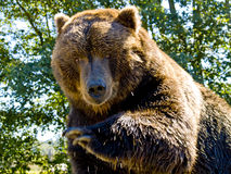 Big Bear. A close up on a big bear royalty free stock photography