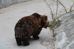 Big bear. A big brown bear in Beijing Zoo Stock Images