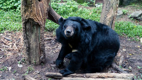 Big Bear fotografia stock libera da diritti