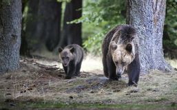 Big bear and bear whelp outcoming from the forest in Romania, La Royalty Free Stock Image
