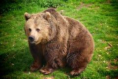 Big bear. Big brown bear Stock Photo