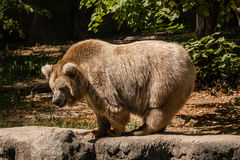 Big bear stock image