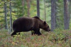 Big Bear, das in Wald geht Lizenzfreies Stockbild