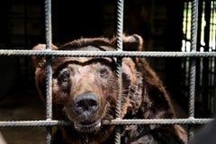 Big Bear en una jaula - un animal asustado en cautiverio Fotos de archivo