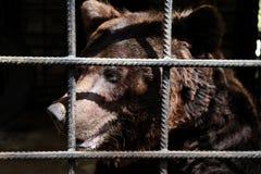Big Bear en una jaula - un animal asustado en cautiverio Imagen de archivo libre de regalías