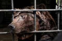 Big Bear en una jaula - un animal asustado en cautiverio Fotografía de archivo libre de regalías