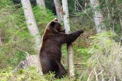 Big bear in forest. A big brown bear in the forest royalty free stock image