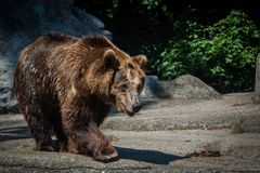 Big Bear grand animal Ours allant manger image libre de droits