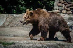 Big Bear grand animal Ours allant manger image stock