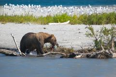 Big bear grizzly in water on background blue lake and mountain.Kamchatka stock photo