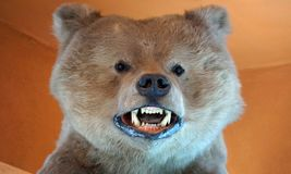 Bear desiccated head. Big bear head with his mouth open, bear showing his theet and fangs, small eyes, nose and ears Royalty Free Stock Photos